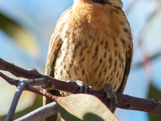 a Spiny-cheeked Honeyeater sitting on a branch in a tree