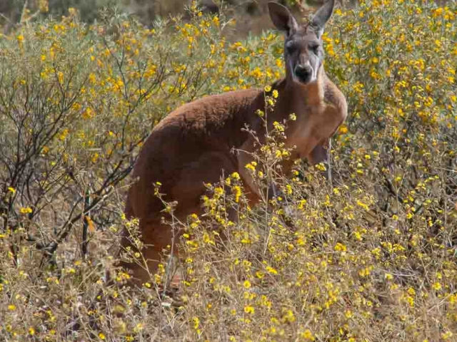 A male Red Kangaroo standing in some bushes with yellow flowers