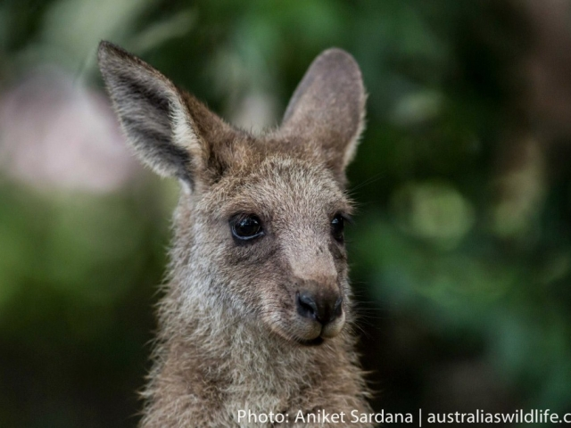 A close up head image of an Eastern Grey Kangaroo