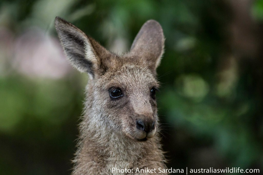 Eastern Grey Kangaroos are a common site on the New South Wales south coast