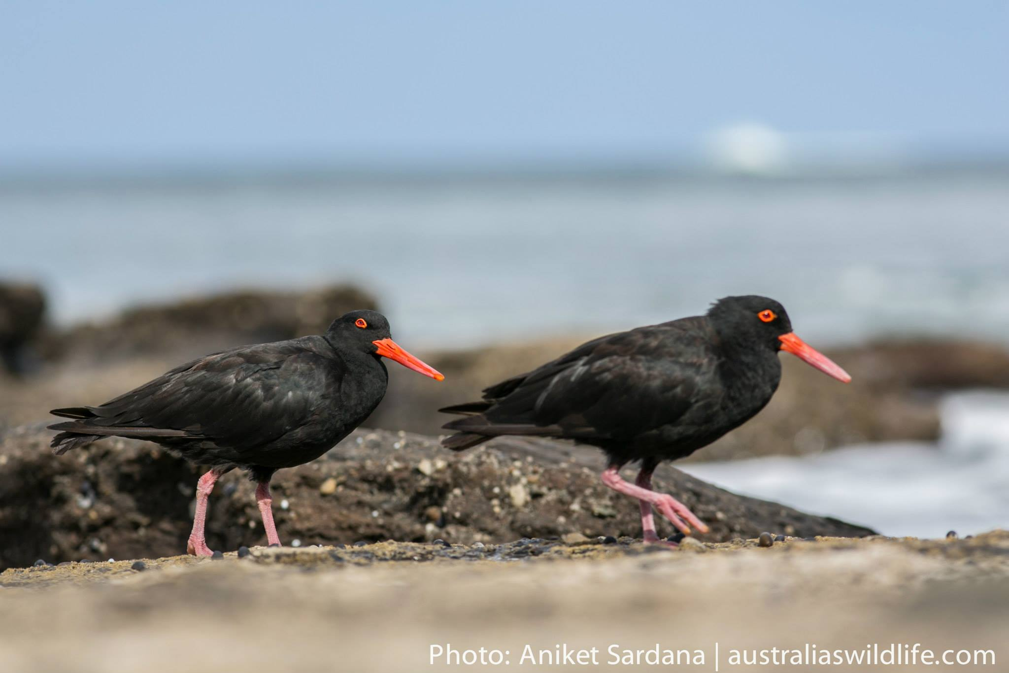 A pair of Sooty Oystercatchers on a rock