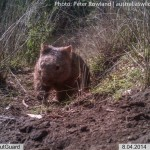 A Common Wombat returning to its den early in the morning