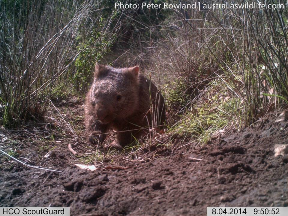A Common Wombat on a trail returning to its burrow