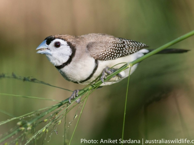 A Double-barred Finch perched on the stem of a piece of grass