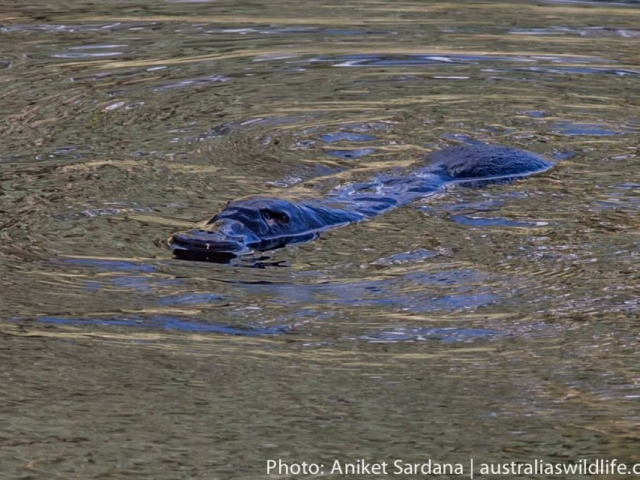 A Platypus swimming on the surface of the water