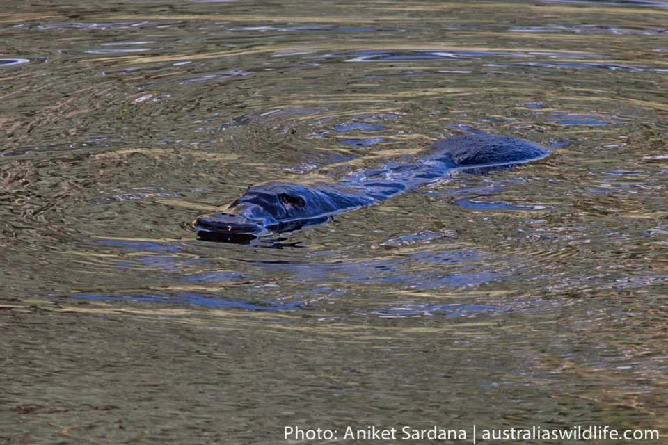 We found some pools where your are virtually guaranteed of a good view of a Platypus