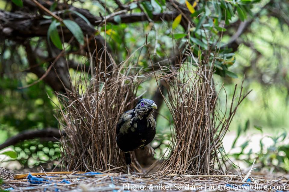 A sub-adult Satin Bowerbird emerges from its bower