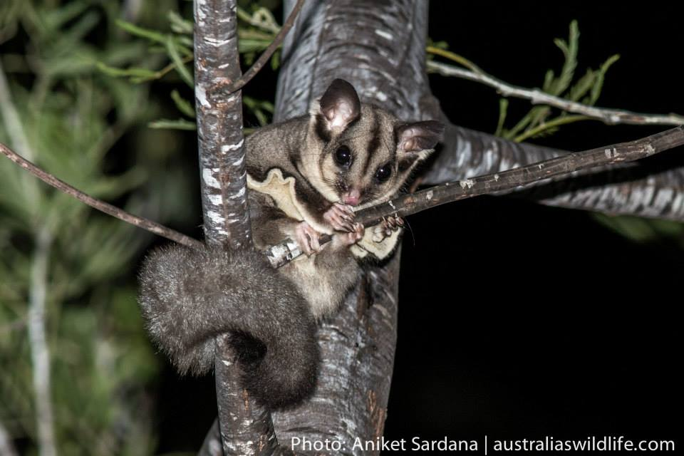 A Squirrel Glider looking down from a tree branch