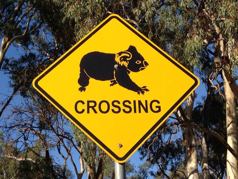 A yellow road sign alerting drivers that Koalas might be crossing the road