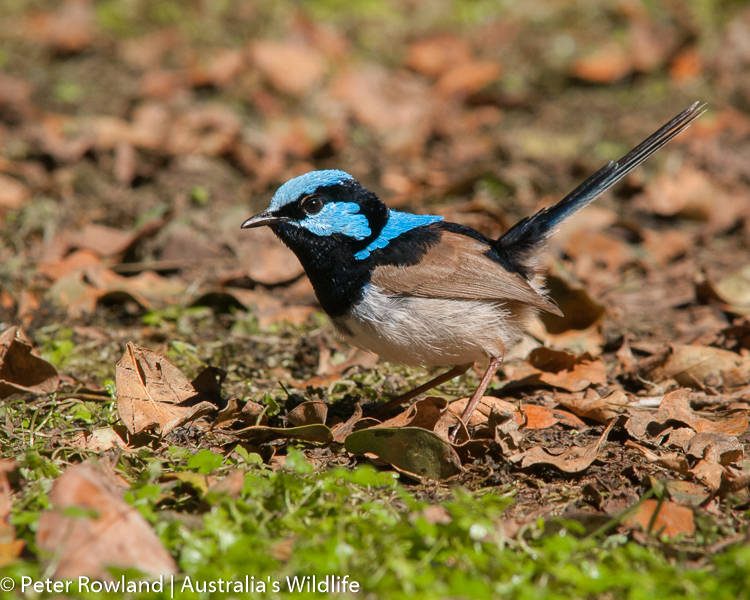 A male Super Fairy-wren searching for insects under leaves on the ground