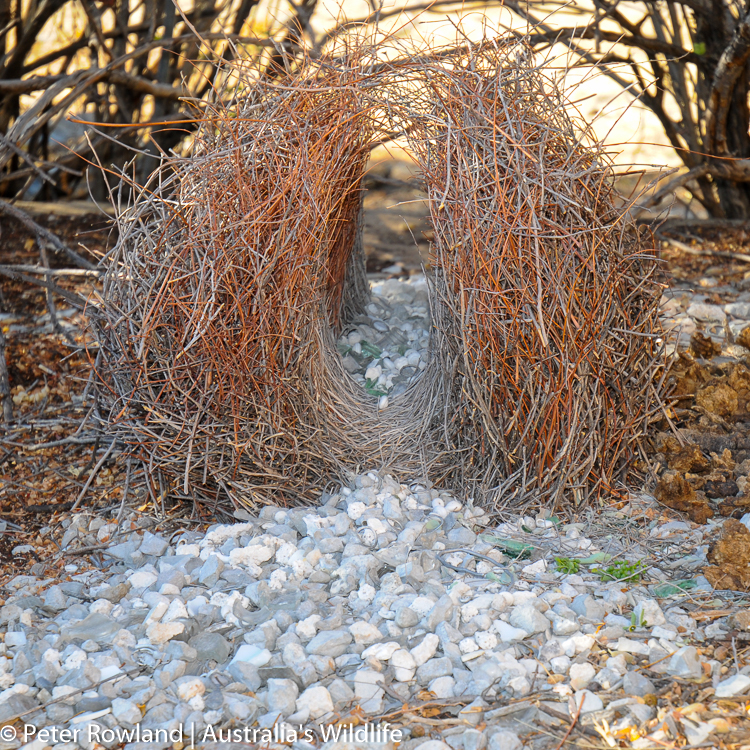 The bower of a Great Bowerbird, showing glass and rocks used for decorations