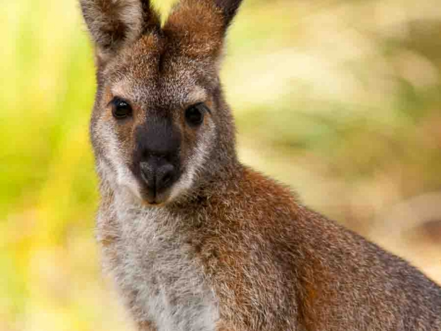 A close up of a Red-necked Wallaby showings its head and back