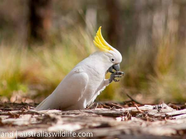 A Sulphur-crested cockatoo feeding on fallen gum nuts on the ground