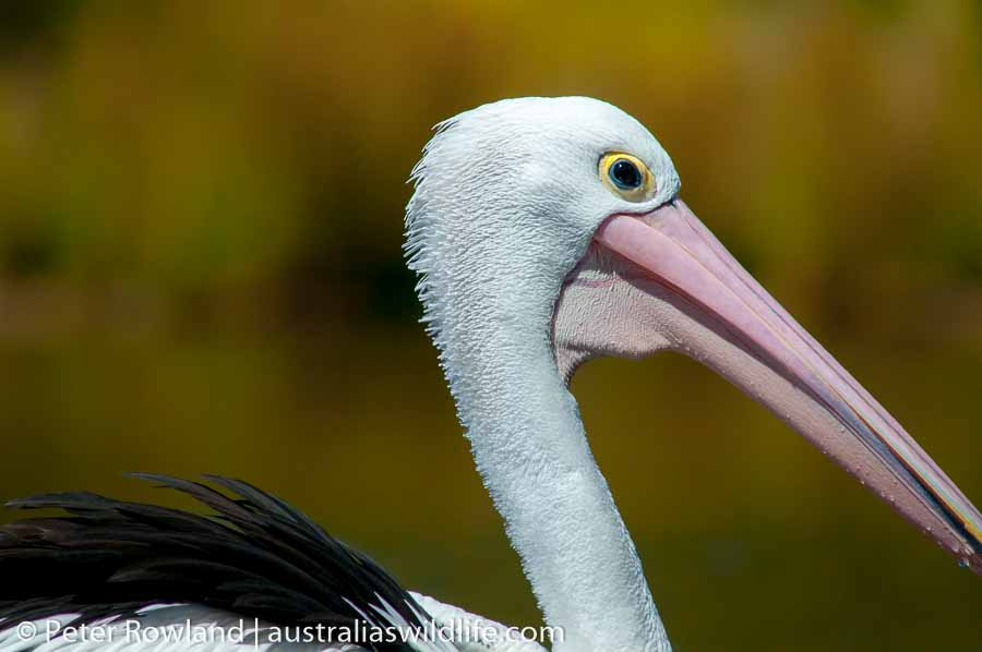 A close up shot showing the head, neck and back of an Australian Pelican