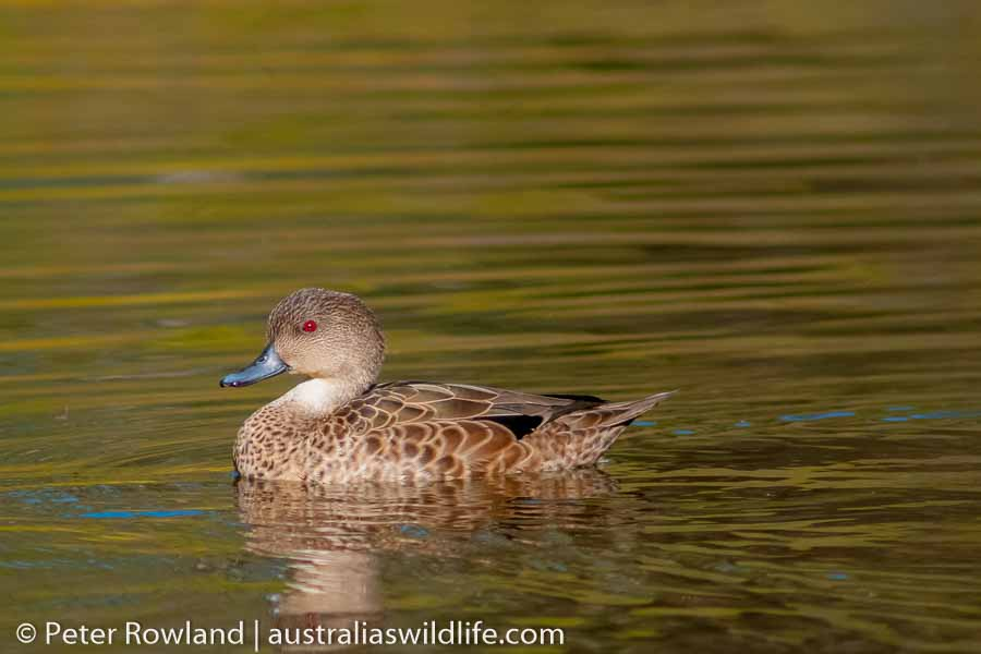 A Grey Teal swimming on the surface of the water