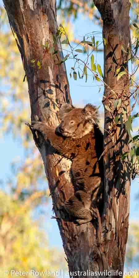 a Koala in the fork of a gum tree