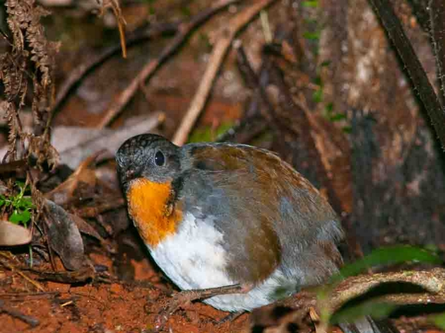 a Logrunner digging through leaf litter in the rainforest