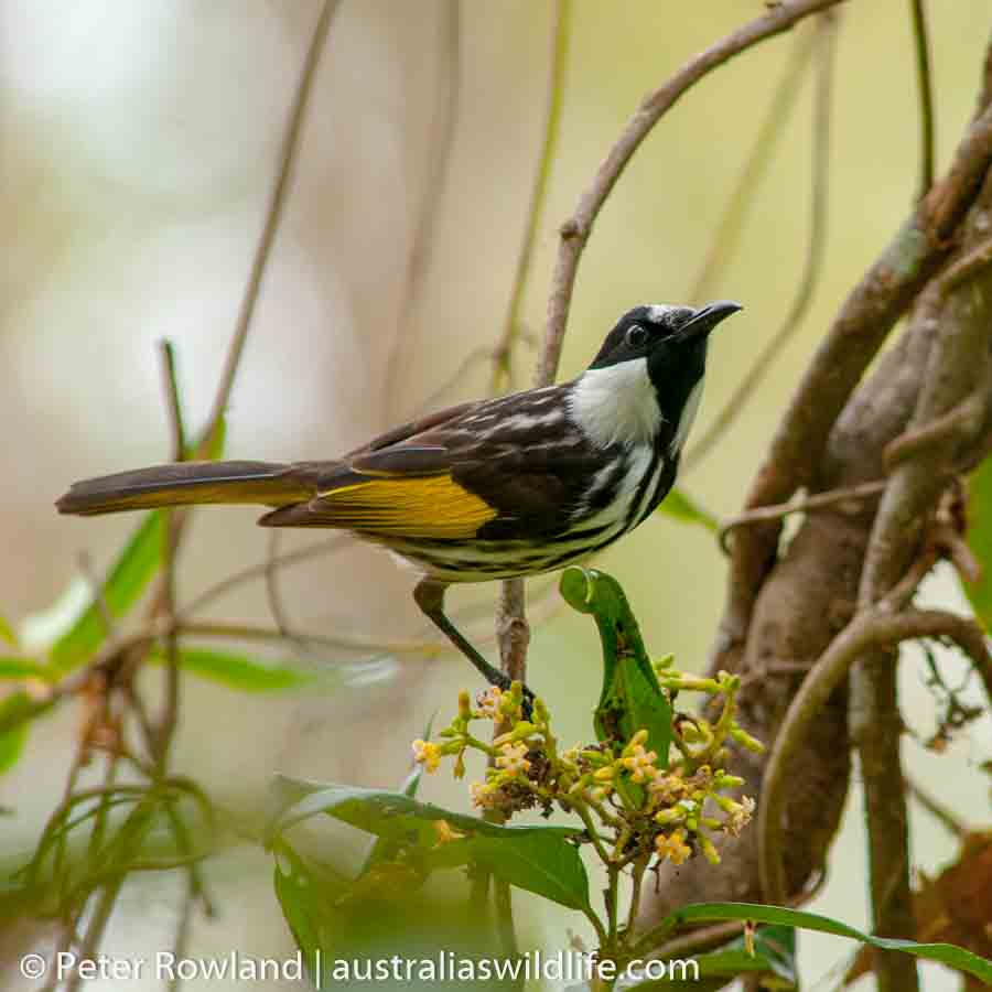 A White-cheeked Honeyeater perched a tree next to some yellow flowers