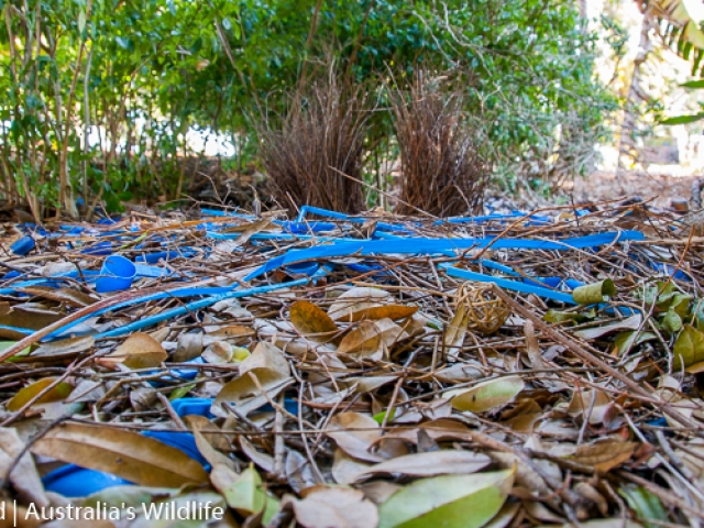 A Satin Bowerbird Bower showing bright blue straws, pegs and bottle tops used as decorations