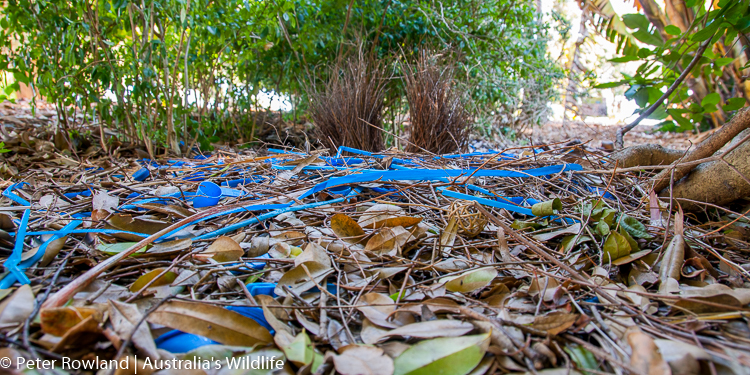 This bower of A Satin Bowerbird in Wollongong has bright blue straws, bottle tops and pegs for decoration