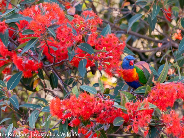 A Rainbow Lorikeet perched in a tree with bright red flowers