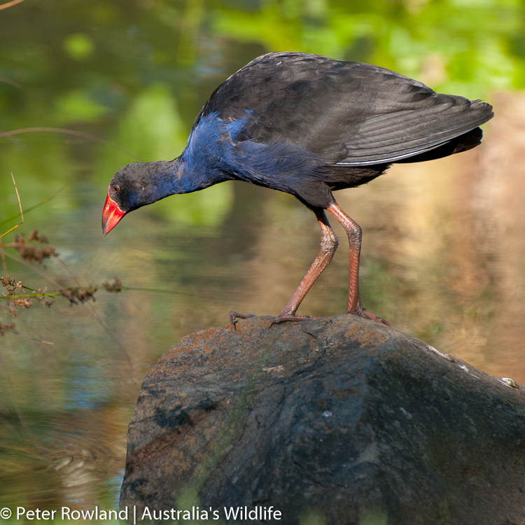 A Purple Swamphen standing on a rock next to a pond