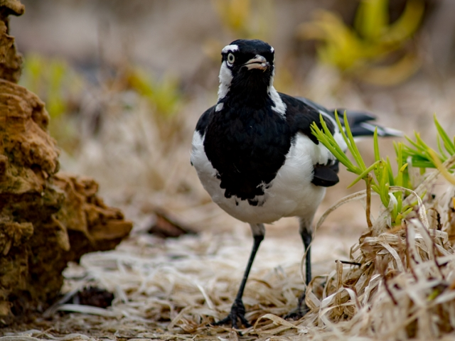 A Male Magpie-lark on the ground among the grass