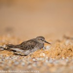 White-rumped Sandpiper sheltering from the wind in a scrape on the beach