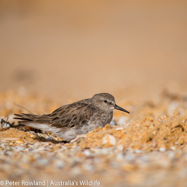 A White-rumped Sandpiper sheltering on the beach