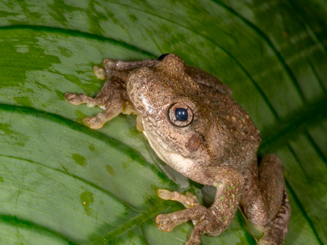 a Peron's Tree-Frog sitting on a broad green leaf