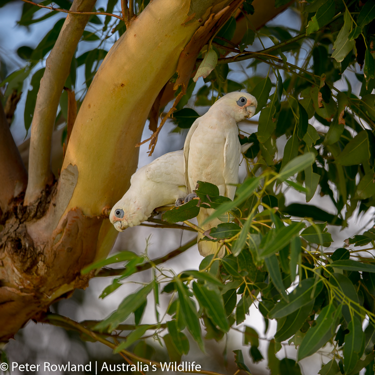 A pair of Little Corellas in a Tree