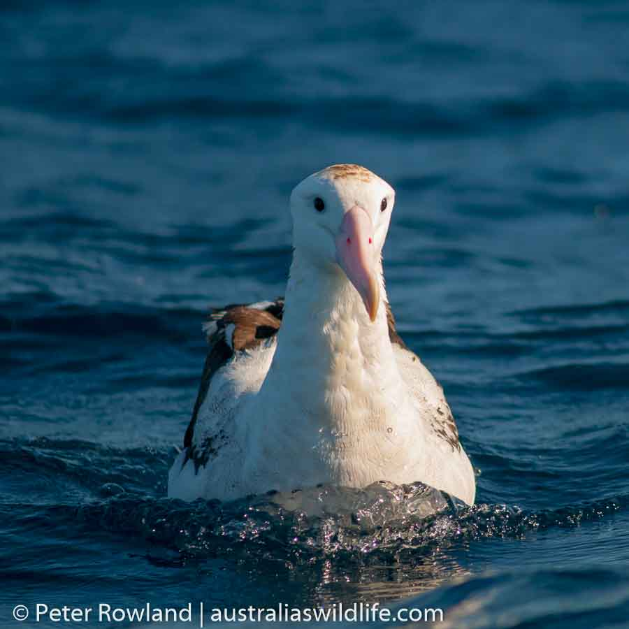 A Wandering Albatross sitting on the surface of the sea