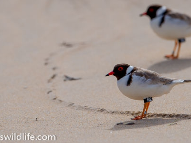 A pair of Hooded Plovers on a beach