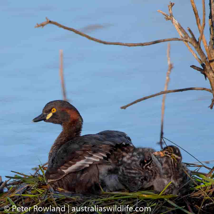 A mother Australasian Grebe sits on her nest with her young