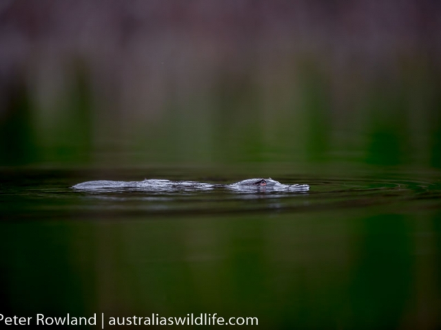 A Platypus on the surface of the water