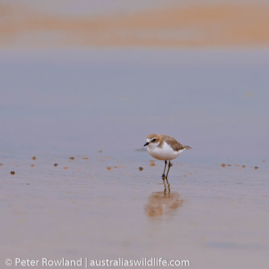 The Red-capped Plover is a regular sight along the beaches in New South Wales
