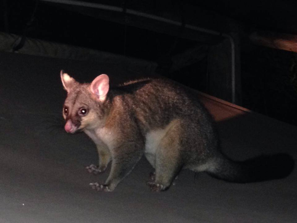 This Brush-tailed Possum raided our tent in the night