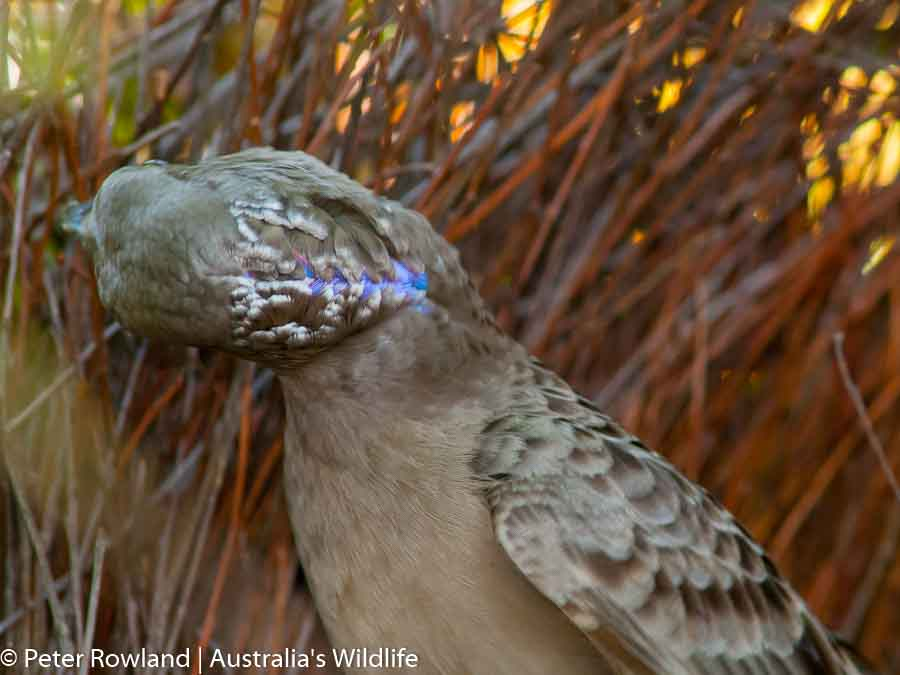 Great Bowerbirds build avenue-type bowers