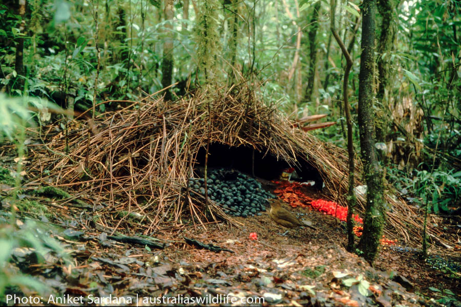 The bower of a Vogelkop Bowerbird showing decorations