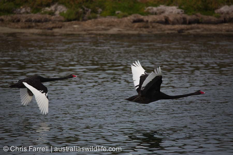 Two Black Swans in flight over a river