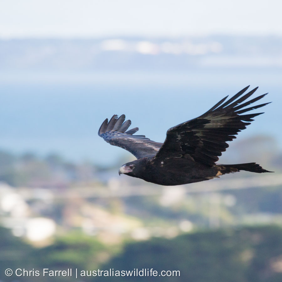 A Wedge-tailed Eagle flying over some houses