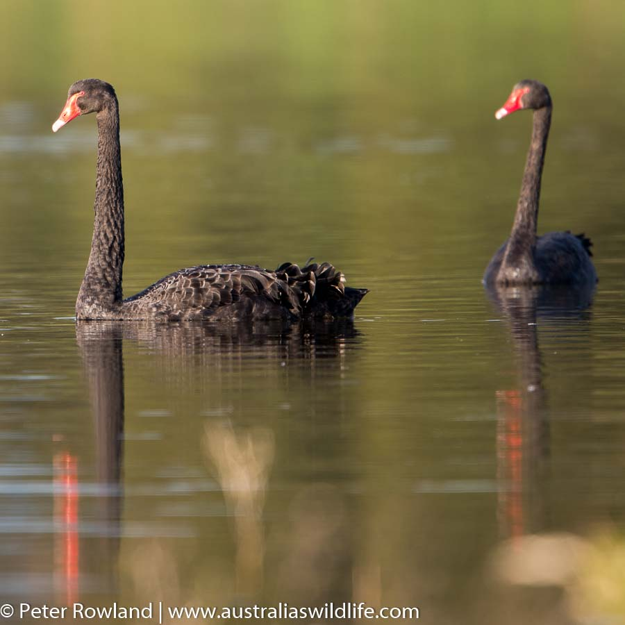 A pair of Black Swans on the water