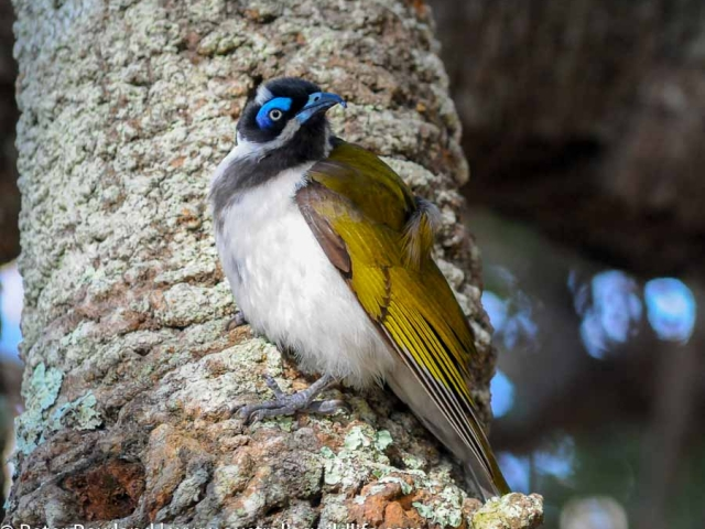 A Blue-faced Honeyeater perched on the trunk of a tree