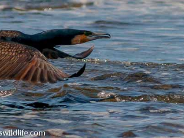 A Great Cormorant flying close to the surface of the sea