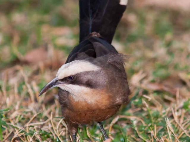 A Grey-crowned Babbled feed on the grass