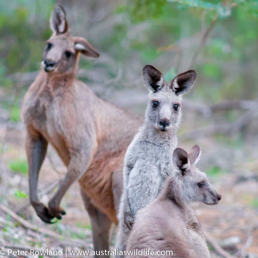 Three Grey Kangaroos (Male, Female and Joey) standing in line