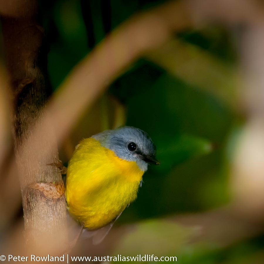 An Eastern Yellow-Robin perched on the side of a tree trunk, looking through a hole in the vegetation