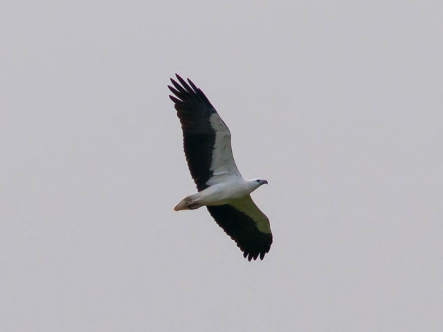 A White-bellied Sea-Eagle in flight