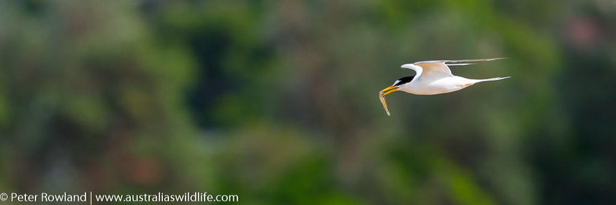 A Little Tern in flight with a small fish in its bill