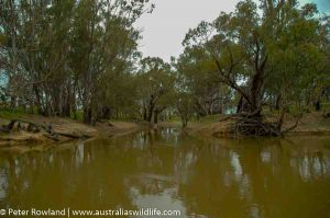 A section of the Murray River during flood, with brown water and trees growing out of the riverbank